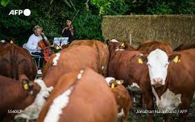 Photos: In Denmark, cattle grazing to the sound of music